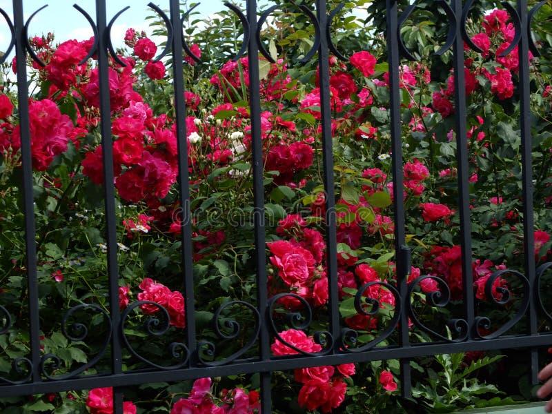Mooie roze bloemen stock afbeeldingen