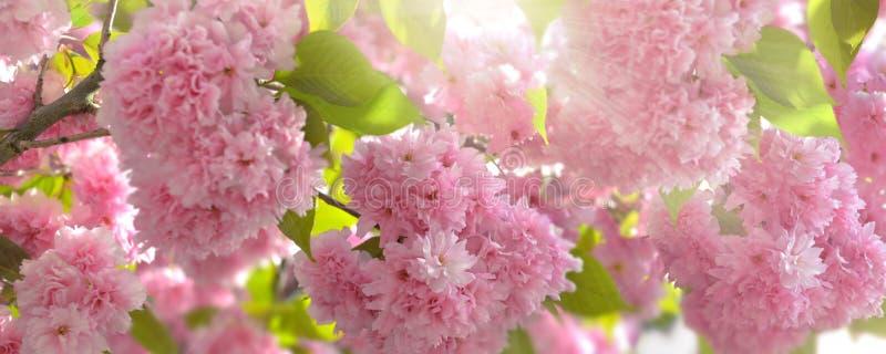 mooie roze bloemen in een Japanse verlichting van de kersenboom door de zon stock fotografie