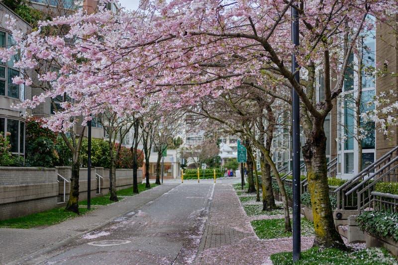 Mooie roze bloemen op bomen Lentetijd in de straten van Vancouver royalty-vrije stock fotografie