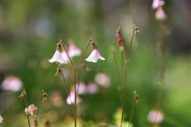 Mooie, roze, breekbare tweelingbloem stock afbeeldingen