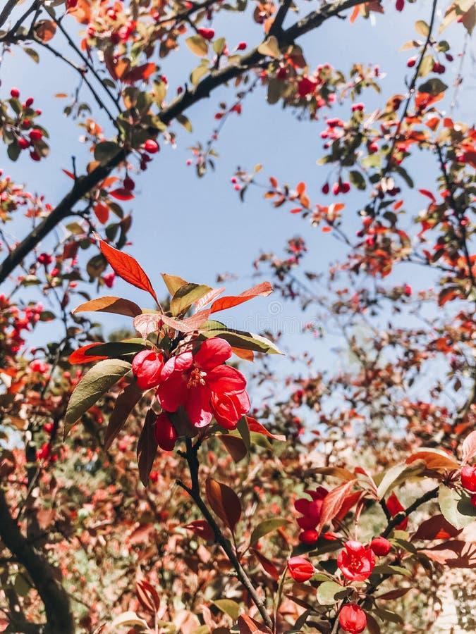 Mooie roze crabapplebloemen op takken in zonnige botanische tuin Apple-de boom komt dicht omhoog tot bloei Hello-de Lente Telefoo stock foto