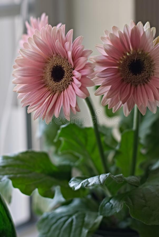 Mooie Roze Daisy in Sunny Windowsill stock fotografie