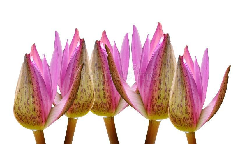 Mooie roze die lotusbloembloemen op witte achtergronden worden geïsoleerd royalty-vrije stock foto
