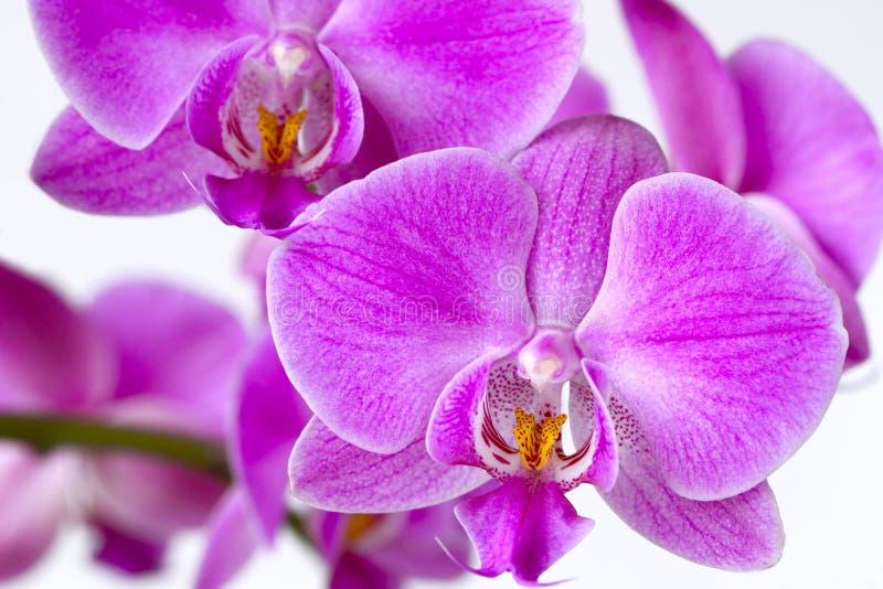 Mooie roze die Phalaenopsis-orchideebloemen, op witte achtergrond met zacht nadruk en onduidelijk beeld worden geïsoleerd royalty-vrije stock afbeelding
