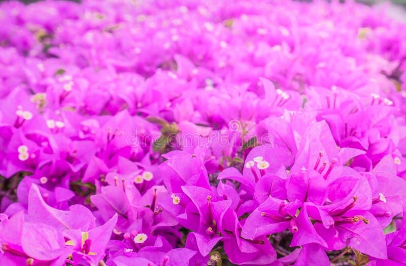 Mooie roze document bloem, bougainvillea glanzende bloemen stock afbeelding