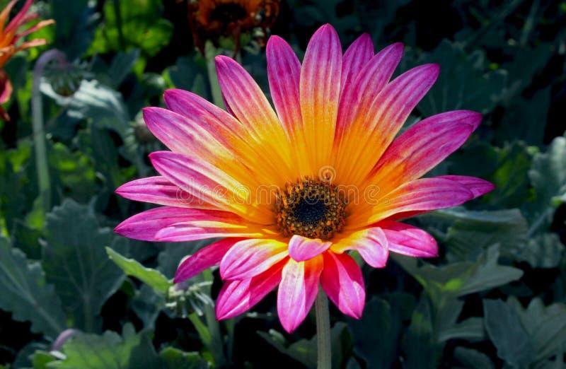 Mooie roze en gele Afrikaanse Daisy bloem stock afbeeldingen