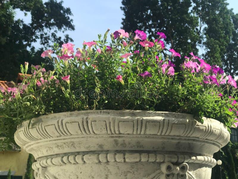 Mooie roze en purpere petunia in de witte pot van de cementbloem royalty-vrije stock afbeeldingen