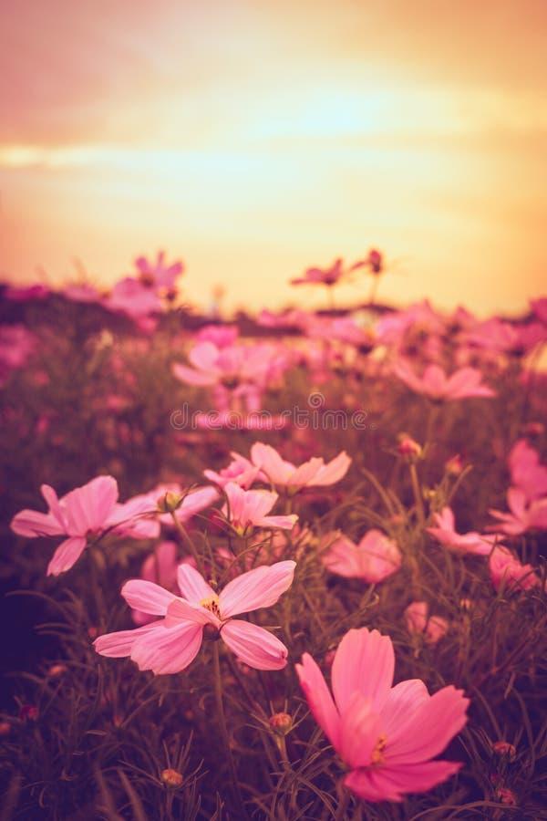 Mooie roze en rode kosmosbloem stock foto's
