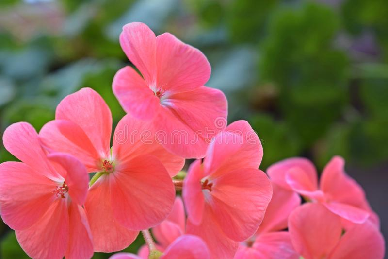 Mooie roze geranium royalty-vrije stock afbeelding