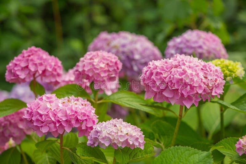 Mooie Roze Hydrangea hortensiabloemen die in Garder groeien royalty-vrije stock foto