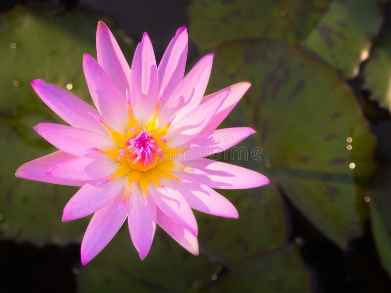 Mooie roze kleurenwaterlelie of lotusbloembloem stock afbeeldingen