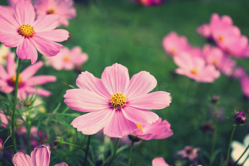 Mooie roze kosmosbloem die in binnenplaatstuin bloeien royalty-vrije stock foto's