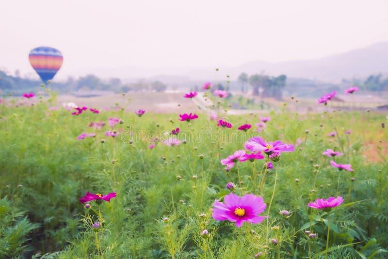 Mooie roze kosmosbloemen met de vlieg van de hete luchtballon op achtergrond stock fotografie