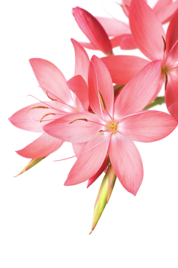 Mooie roze lelie royalty-vrije stock afbeelding
