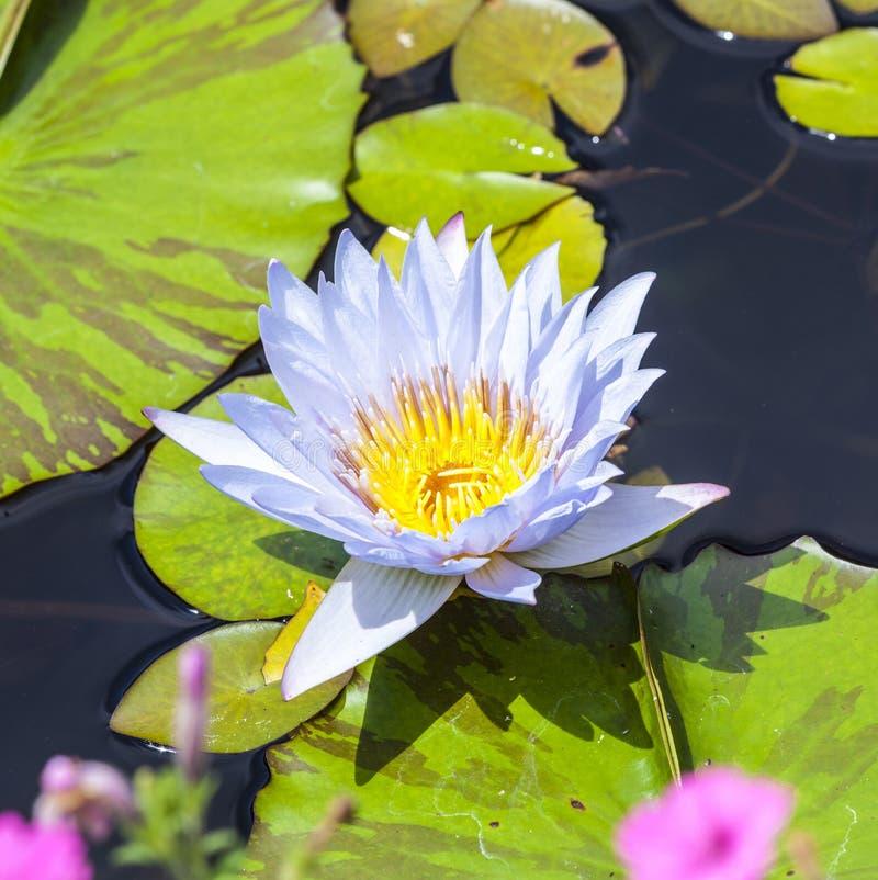 Mooie roze lotusbloembloem stock fotografie