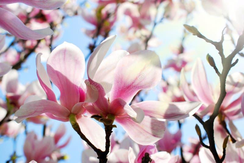 Mooie roze magnolia in de lentezonneschijn royalty-vrije stock afbeelding