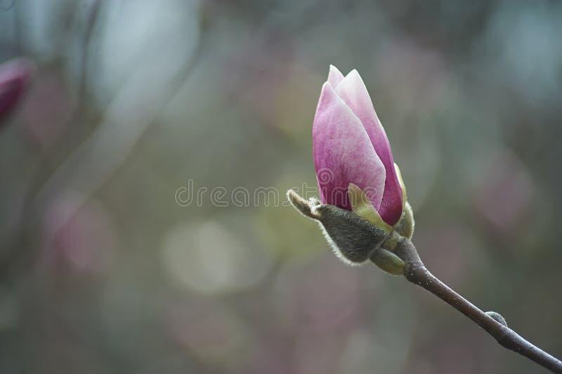 Mooie roze magnolia's op blauwe hemelachtergrond in de botanische magnolia van de tuinbloesem royalty-vrije stock foto