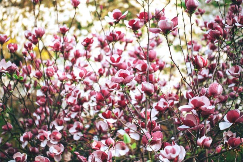 Mooie roze magnoliabloesems royalty-vrije stock afbeeldingen