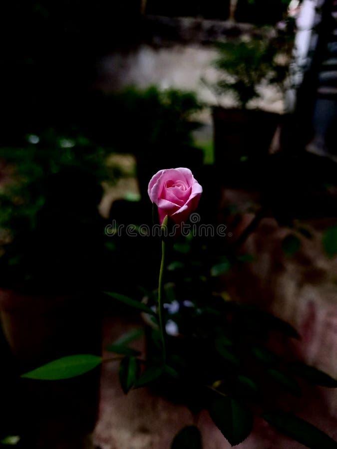 Mooie roze nam bloemen in de de zomerdag toe stock fotografie