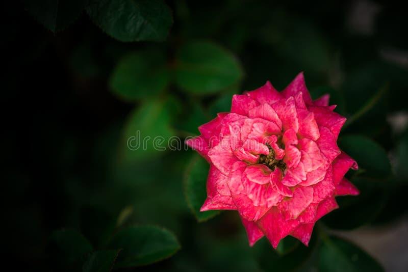 Mooie roze nam bloemen die met groen blad bloeien toe stock foto's