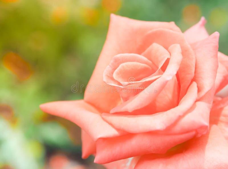 Mooie roze nam in de tuin toe royalty-vrije stock afbeeldingen