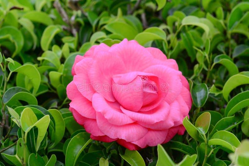 Mooie roze nam in een tuin toe stock foto