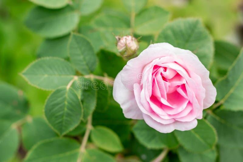 Mooie roze nam met groene bladeren in een tuin toe De zomer natuurlijke achtergrond met exemplaarruimte royalty-vrije stock afbeeldingen