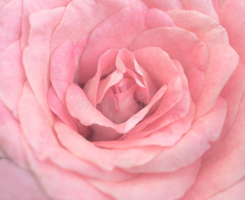 Mooie roze nam in zachte lichte, Selectieve nadruk toe royalty-vrije stock afbeeldingen