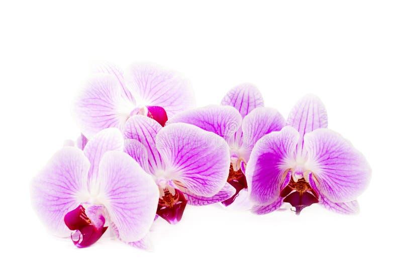 Mooie roze orchideebloem op de witte achtergrond. royalty-vrije stock afbeeldingen