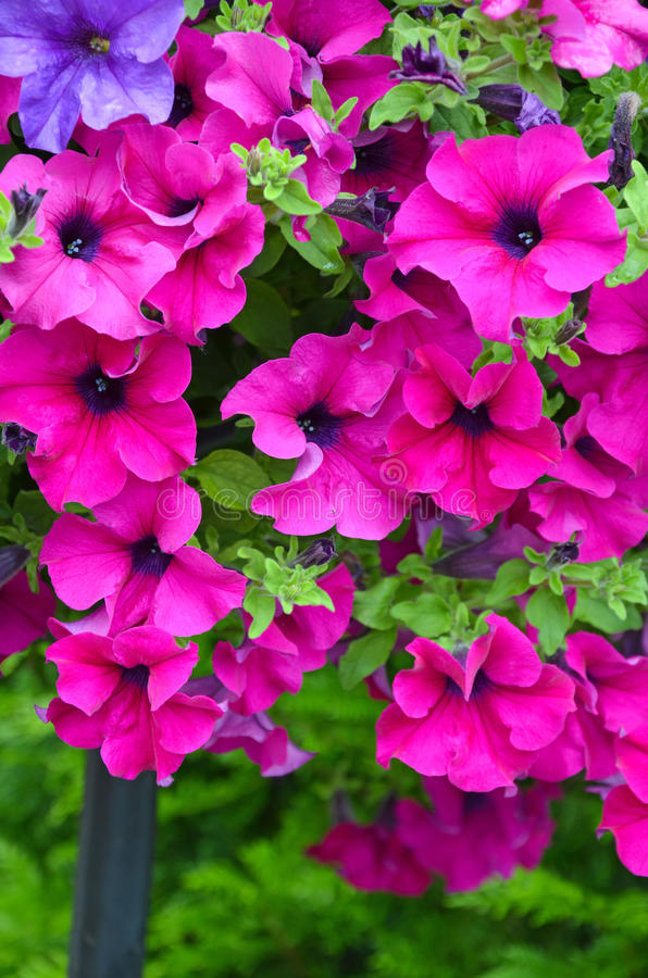 Mooie roze petunia royalty-vrije stock afbeelding