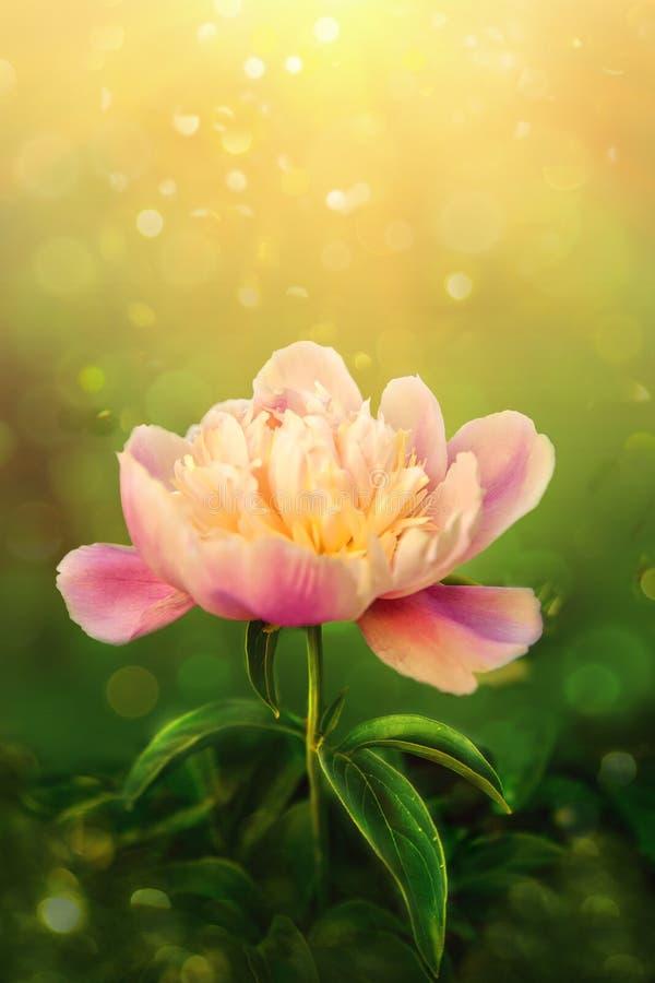 Mooie roze pioen op groene achtergrond stock foto