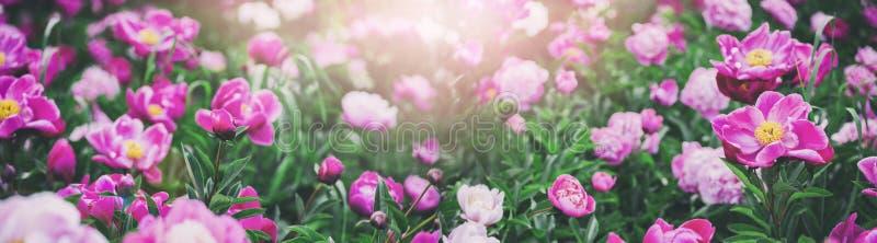 Mooie roze pioenenbloemen, greens en bokeh verlichting in de tuin, achtergrond van de de zomer de openlucht bloemenaard stock afbeelding