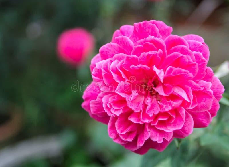 Mooie roze rozen die in de tuin bloeien stock afbeeldingen