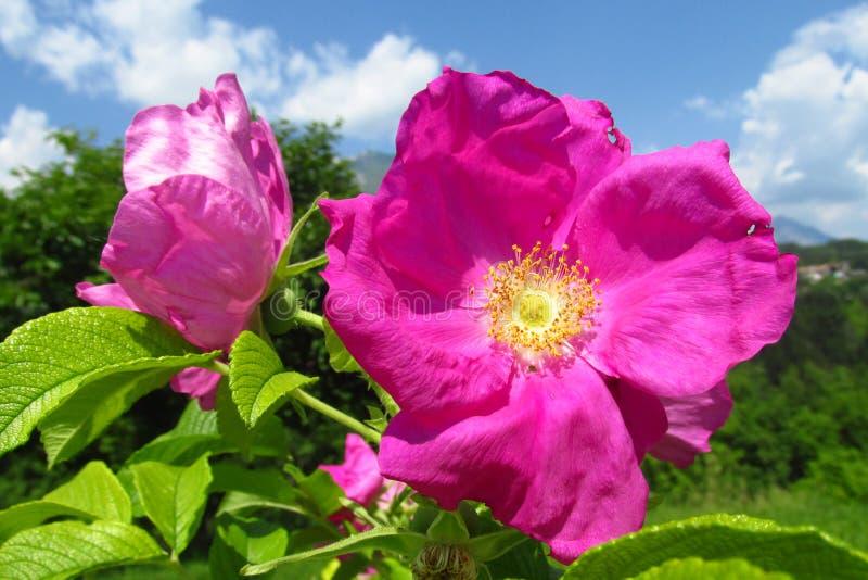 Mooie roze rozen onder groene en blauwe hemel royalty-vrije stock foto's