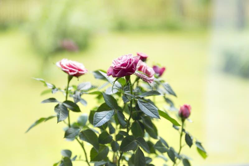 Mooie roze rozen in pot op een vensterbank stock afbeeldingen