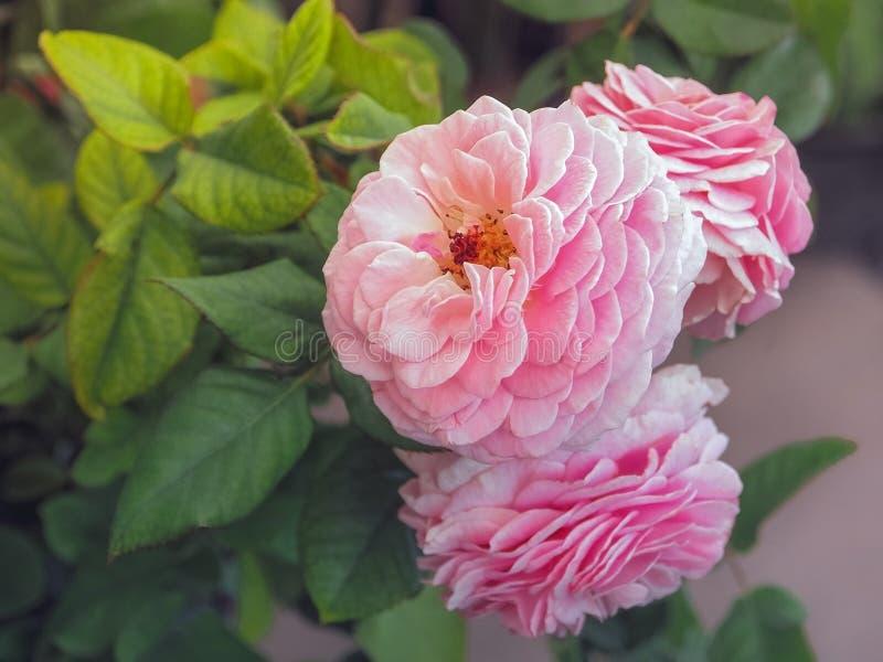 Mooie roze rozen in zacht licht stock foto's