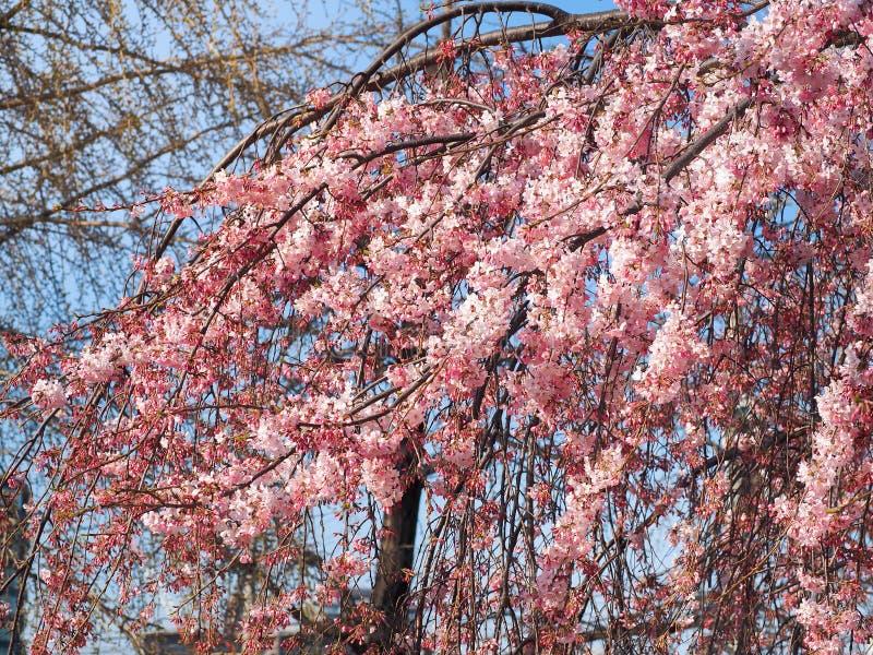 Mooie Roze Sakura Flowers in Park stock foto's