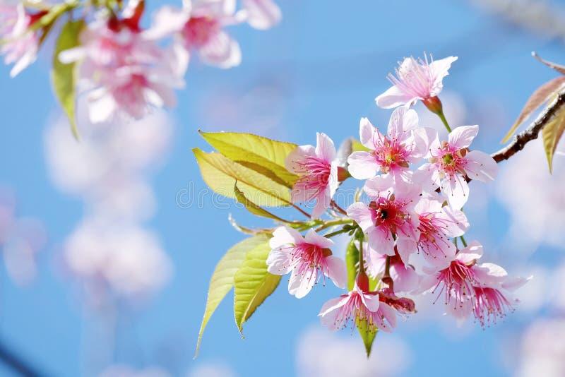 Mooie roze sakura met jonge groene bladeren stock afbeelding
