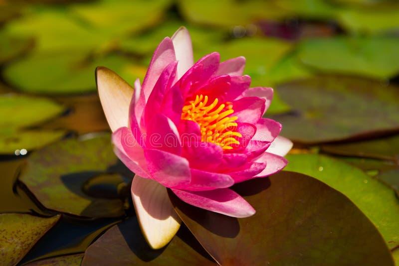 Mooie roze waterlelie stock afbeeldingen