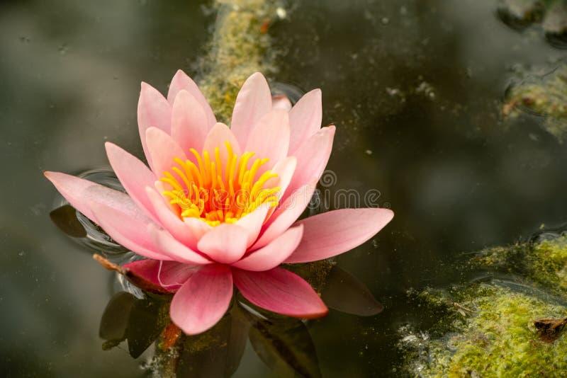 Mooie roze waterlelies in het meer stock fotografie