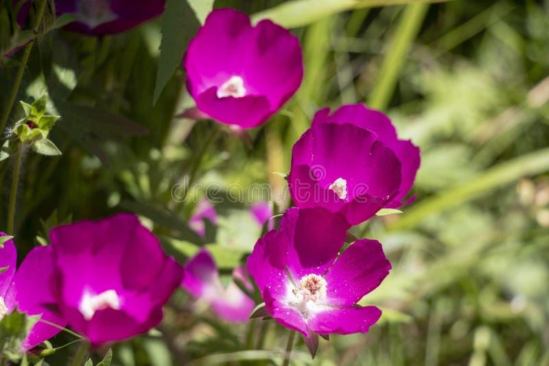 Mooie Roze Wildflowers die omhoog de Zon doorweken stock foto's
