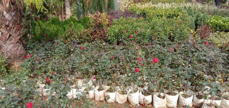 Mooie rozenrozenplant in Kanpur royalty-vrije stock fotografie