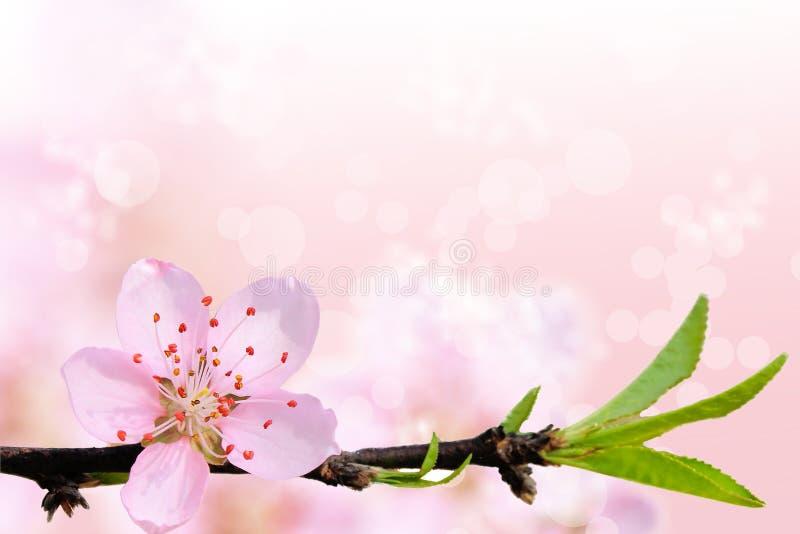 Mooie Sakura-bloem stock afbeeldingen