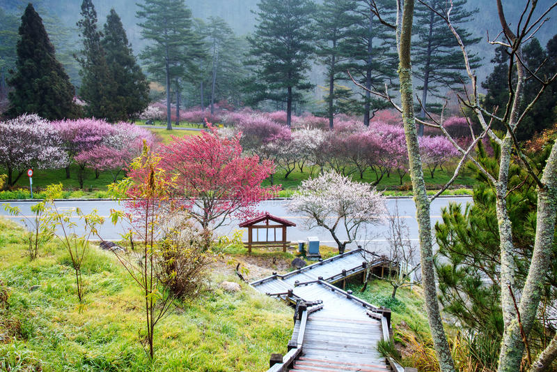 Mooie Sakura Garden in Wuling-Landbouwbedrijf Taiwan stock foto's