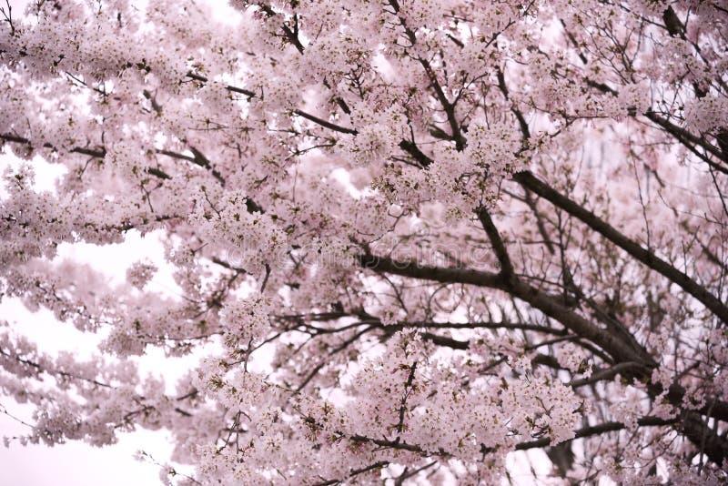 Mooie sakura van de kersenbloesem op roze achtergrond stock fotografie