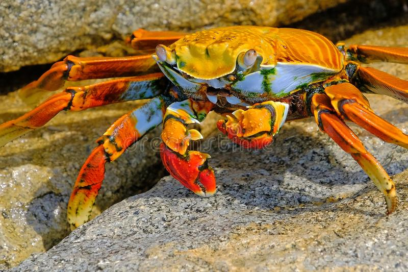 Mooie Sally Lightfoot Crab, Grapsus-grapsus, op rotsen, Vreedzame Oceaankust, Tocopilla, Chili stock afbeelding