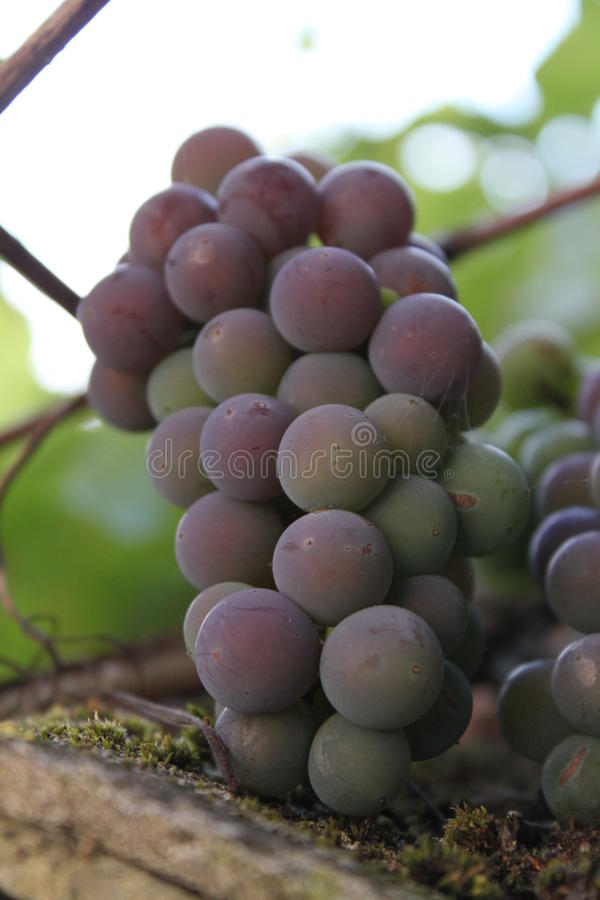 Mooie sappige smakelijke heldere druiven royalty-vrije stock foto's