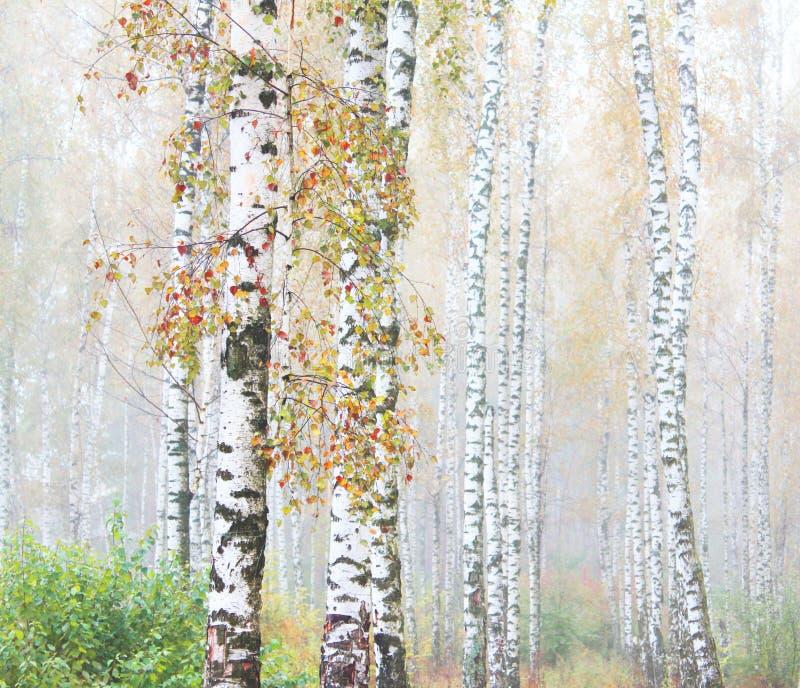 Mooie scène met berken binnen in oktober onder andere berken in berkbosje in mist stock foto