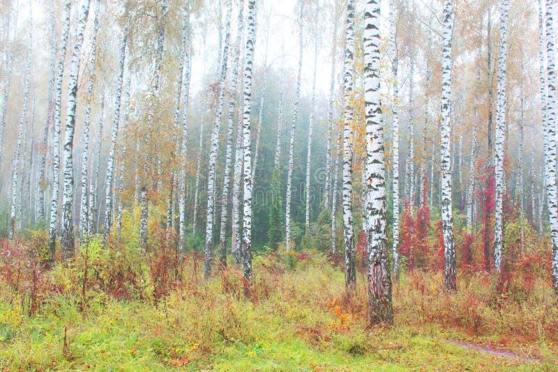 Mooie scène met berken binnen in oktober onder andere berken in berkbosje in mist royalty-vrije stock afbeeldingen