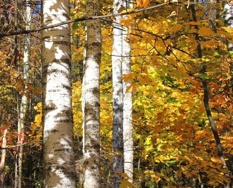 Mooie scène met berken in geel de herfstbos stock afbeelding
